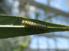 Early instar monarch larvae 1.JPG