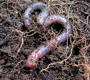Description de l'image Earthworm on earth - heart.jpg.