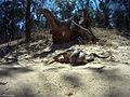 Eastern Brown Snake eating an Eastern Blue tongue. (8237049500).jpg