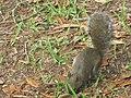 Eastern Gray Squirrel on Ground.jpg