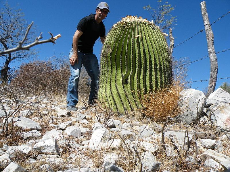 cactus platyacanthus