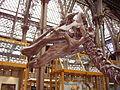 Edmontosaurus skull 1.JPG