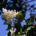 Ehretia acuminata fleur.jpg