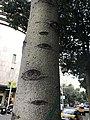 Ejemplar de Brachychiton populneus en el Carrer de Fontanella, Barcelona.jpg