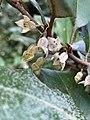 Elaeagnus x ebbingei at the Morris Arboretum 05.jpg