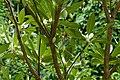 Elaeocarpus sp 3226.jpg