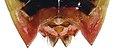 Elasmostethus interstinctus m genitals.jpg