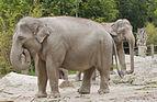 Elefante asiático (Elephas maximus), Tierpark Hellabrunn, Múnich, Alemania, 2012-06-17, DD 07.JPG