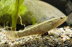 Eleotridae - Eleotris oxycephala