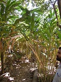 Elettaria cardamomum
