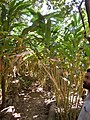 Elettaria cardamomum.jpg
