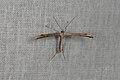 Emmelina monodactyla (34999739233).jpg