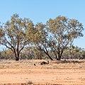 Emu Burke River floodplain Boulia Shire Queensland P1060874.jpg