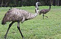 Emu in the wild-3+ (2154433296).jpg