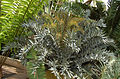 Encephalartos horridus (2944487246).jpg