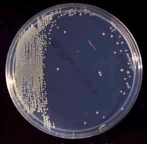 Kolonien von Cronobacter sakazakii