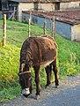 Equus asinus - Burro - Donkey - 02.jpg