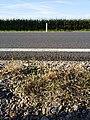 Eragrostis multicaulis sl2.jpg