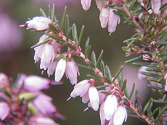 Erica - Erica carnea in flower