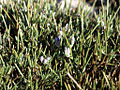 Erinacea anthyllis (1).jpg