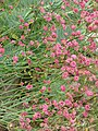 Eriogonum grande rubescens (14578976529).jpg