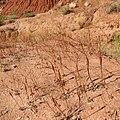 Eriogonum inflatum Paria Rimrocks.jpg