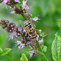 Eristalis arbustorum - Flickr - gailhampshire (6).jpg