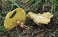Erlengrübling Gyrodon lividus.jpg