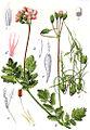 Erodium cicutarium Sturm8.jpg