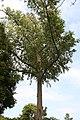 Eucalyptus deglupta 9zz.jpg