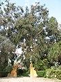 Eucalyptus globulus (Serres de la Madone).jpg