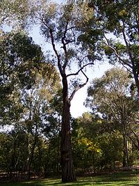 Eucalyptus macrorhyncha 01