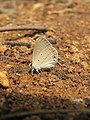 Euchrysops cnejus Fabricius, 1798 – Gram Blue at Aralam Wildlife Sanctuary 2016 (18).jpg