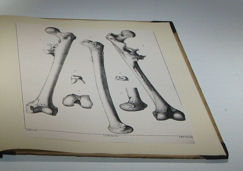 File:Eugène Dubois - Drawings of a molar and a femur of Pithecanthropus erectus (Homo erectus).jpg