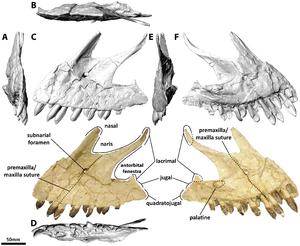 Euhelopus - Left premaxilla and maxilla