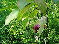 Euonymus verrucosa7pl.jpg