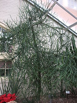 EuphorbiaTirucalliPlant.jpg