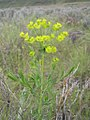 Euphorbia esula-5-10-05.jpg