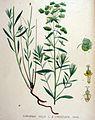 Euphorbia esula — Flora Batava — Volume v19.jpg