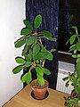 Euphorbia leuconeura in pot.jpg