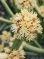 Euphorbia tirucalli00.jpg