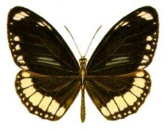 Euploea sylvester - Image: Euploea sylvester (ento csiro au)
