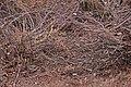 European Adder (Vipera berus) (8692093893).jpg