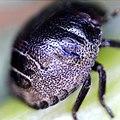 Eurygaster testudinaria 86730324.jpg