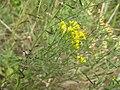 Euthamia gymnospermoides.jpg