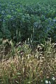 Evidence of Prievous Crops - geograph.org.uk - 881426.jpg