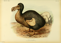 Extinctbirds1907 P24 Didus cucullatus0329.png