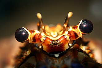 Lobster - Eyestalk of a lobster