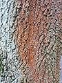 Fagales - Quercus robur - 55.jpg