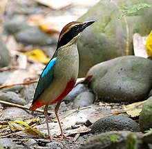 White bird with red belly stands in dried river bed with smooth boulders